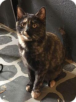 Domestic Shorthair Cat for adoption in Harrisonburg, Virginia - Rascal