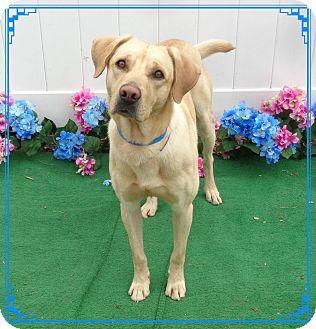 Labrador Retriever Dog for adoption in Marietta, Georgia - MAX(R)
