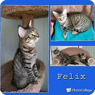 Hemingway/Polydactyl Kitten for adoption in Arlington/Ft Worth, Texas - Felix