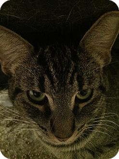 Domestic Shorthair Cat for adoption in Warren, Michigan - Dory