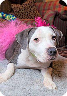 Boxer/Labrador Retriever Mix Dog for adoption in Nashville, Tennessee - LULA