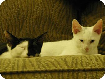 Domestic Shorthair Cat for adoption in Oviedo, Florida - Sanchez