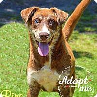 Husky/Labrador Retriever Mix Dog for adoption in Manhasset, New York - Pine