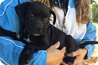 Labrador Retriever/Retriever (Unknown Type) Mix Puppy for adoption in Twinsburg, Ohio - Duke (9 lb) Video