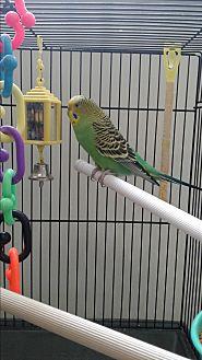 Parakeet - Other for adoption in Villa Park, Illinois - Jade