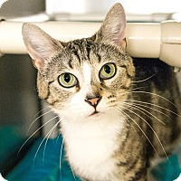 Domestic Shorthair Cat for adoption in Seville, Ohio - Sasha