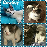 Adopt A Pet :: Cowboy - Arlington/Ft Worth, TX