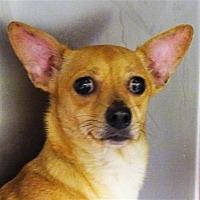 Adopt A Pet :: Bitsy - Corpus Christi, TX