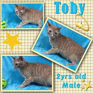 American Shorthair Cat for adoption in Siler City, North Carolina - Toby