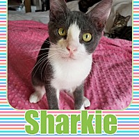 Adopt A Pet :: Sharkie - Orange, CA