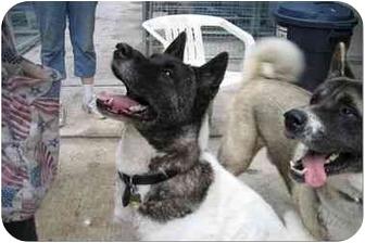 Akita Dog for adoption in Houston, Texas - Kay