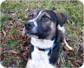 Foxhound/Boxer Mix Dog for adoption in Mocksville, North Carolina - Baron