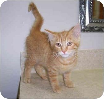Domestic Shorthair Kitten for adoption in Brighton, Michigan - Will