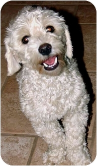 Maltese/Poodle (Miniature) Mix Dog for adoption in Los Angeles, California - Coco