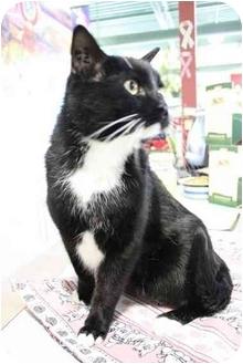 Domestic Shorthair Cat for adoption in Okotoks, Alberta - Amos