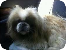 Pekingese Dog for adoption in Spring City, Tennessee - Ink Spot