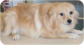 Pomeranian Dog for adoption in House Springs, Missouri - Sennia