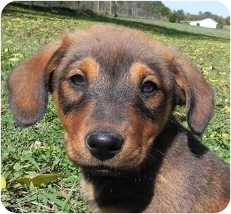 Golden Retriever/Sheltie, Shetland Sheepdog Mix Puppy for adoption in Hagerstown, Maryland - Goofey
