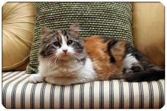 Domestic Mediumhair Cat for adoption in Sterling Heights, Michigan - Jenga - ADOPTED!