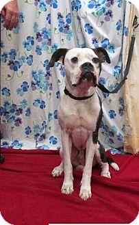 Boxer/American Bulldog Mix Dog for adoption in Wilmington, Delaware - Ziggy- jogging buddy!