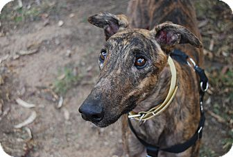 Greyhound Dog for adoption in Tucson, Arizona - Basco