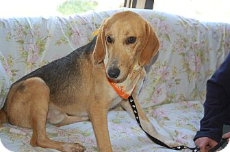 Hound (Unknown Type) Mix Dog for adoption in Hot Springs, Arkansas - Dante