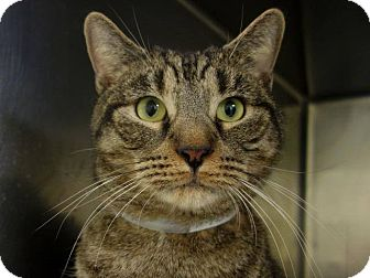 Domestic Shorthair Cat for adoption in Newtown, Connecticut - Holder
