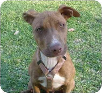 Labrador Retriever Mix Puppy for adoption in West Los Angeles, California - Spice