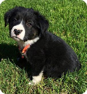 Border Collie/German Shepherd Dog Mix Puppy for adoption in Ridgecrest, California - Chase
