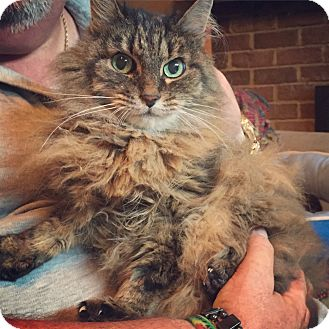 Norwegian Forest Cat Cat for adoption in Raleigh, North Carolina - Venus