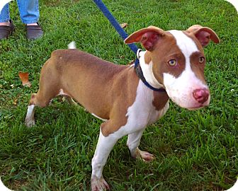 Pit Bull Terrier Mix Puppy for adoption in Metamora, Indiana - Ida