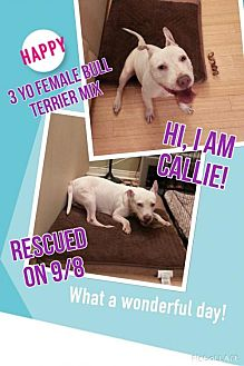 Bull Terrier Mix Dog for adoption in Dana Point, California - Callie