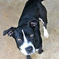 Labrador Retriever Dog for adoption in Memphis, Tennessee - Cash