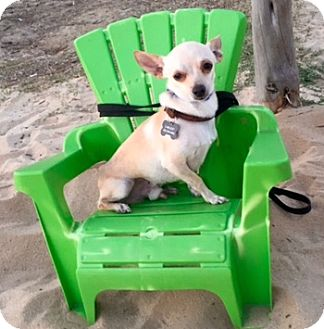 Chihuahua Dog for adoption in Kirby, Texas - Dobby