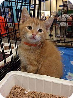 Domestic Mediumhair Kitten for adoption in Wilmore, Kentucky - Bronson