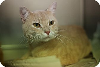 Domestic Shorthair Cat for adoption in Chicago, Illinois - Copper