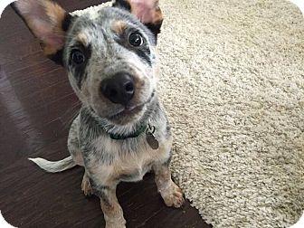 Australian Cattle Dog Mix Puppy for adoption in Austin, Texas - Robert Frost