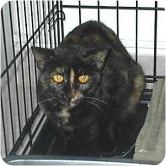 Domestic Shorthair Kitten for adoption in Miami Beach, Florida - Goldie(URGENT)