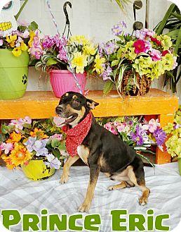 Blue Heeler/Shepherd (Unknown Type) Mix Dog for adoption in Odessa, Texas - Prince Eric