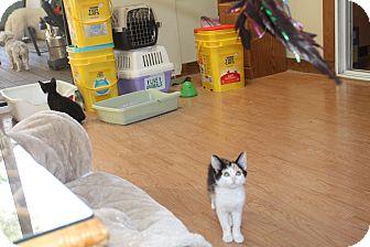 Calico Kitten for adoption in St. Louis, Missouri - Suziki
