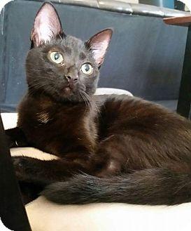 Domestic Shorthair Kitten for adoption in Columbus, Ohio - Leia