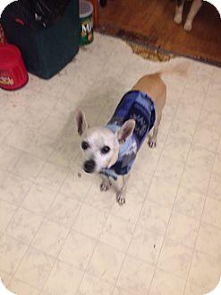 Chihuahua/Italian Greyhound Mix Dog for adoption in Duchess, Alberta - Chasse