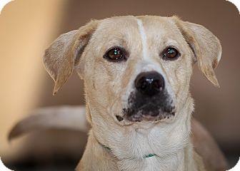 Labrador Retriever Mix Dog for adoption in Westminster, California - Venice