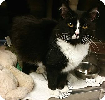 Domestic Longhair Kitten for adoption in Union, New Jersey - Alley