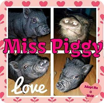 Pig (Potbellied) for adoption in Plainfield, Illinois - Miss Piggy