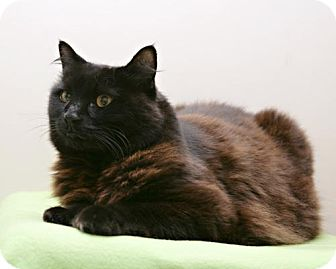 Domestic Mediumhair Cat for adoption in Bellingham, Washington - Harley