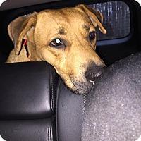 Adopt A Pet :: Angel - sanford, NC
