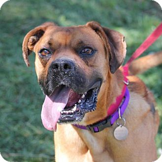 Boxer Dog for adoption in Denver, Colorado - Sully