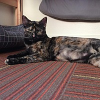 Domestic Shorthair Cat for adoption in Los Angeles, California - Elle