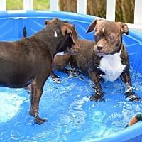 Adopt A Pet :: Bruno - Herndon, VA